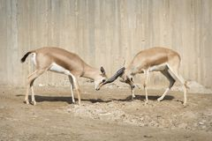 Fight between two Dorcas male gazelles royalty free stock photography
