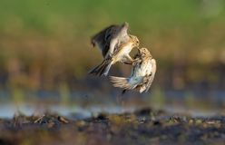Two males of Eurasian skylark battle against each other close to the soil royalty free stock images