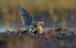 Two males of Eurasian skylark in cruel fight against each other in dirty soil royalty free stock image