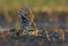 Two males of Eurasian skylark in ferocious fight against each other on the ground stock photo