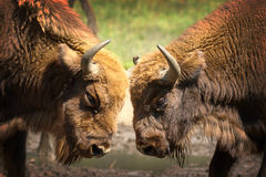 Two Males European Bisons Fighting Royalty Free Stock Photos