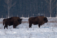 Two Males of Eurpean Bison Royalty Free Stock Photography