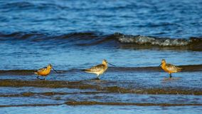 Two males and female Bar-tailed Godwits or Limosa lapponica walk at seashore, portrait, selective focus, shallow DOF.  stock photo