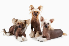 Two males and female of Chinese Crested Dog Stock Image