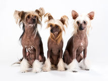 Two males and female of Chinese Crested Dog. Seated on white background. No isolated Stock Images