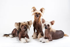 Two males and female of Chinese Crested Dog. Royalty Free Stock Images