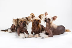 Two males and female of Chinese Crested Dog. On white background. No isolated Stock Photos