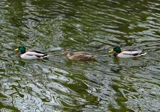 Two Males and a Female Mallard Ducks Swimming. Two male and a female mallard ducks swimming in the Roanoke River located in Roanoke, Virginia, USA Royalty Free Stock Photos