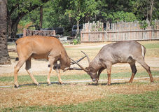 Two males impala fight in for the herd with the best territory Royalty Free Stock Photos