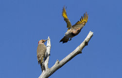 Two males Northern Flicker Royalty Free Stock Images