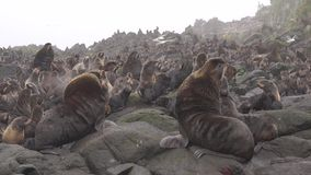 Nothern fur seals. Two males of the nothern fur seal fighting on the rookery. Kuril Islands stock video footage