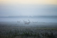 Two males of a red deer and several deer walk around the field i. N a foggy morning during the rut. Belarus, Naliboki forest Stock Photo