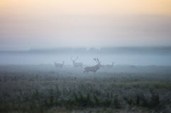 Two males of a red deer and several doe walk around the field in. A foggy morning during the rut. Belarus, Naliboki forest Stock Photography