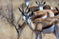 Two males Springbok Royalty Free Stock Photography