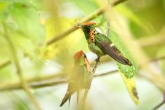 Two males of Tufted Coquette Lophornis ornatus sitting on branch, bird from caribean tropical forest, Trinidad and Tobago. Beautiful colorful hummingbird stock photos