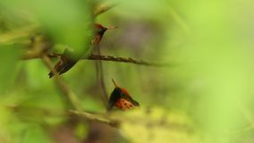 Two males of Tufted coquette,Lophornis ornatus sitting on branch during rain, bird from rain tropical forest, Trinidad and Tobago. Two males of Tufted coquette stock footage