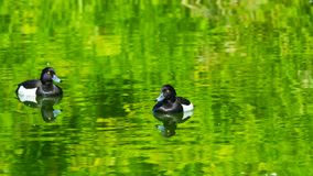 Two males Tufted Duck or Aythya fuligula swimming in river, close-up portrait, selective focus, shallow DOF.  stock image