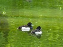 Two males of Tufted Duck or Aythya fuligula swimming in river, close-up portrait, selective focus, shallow DOF.  royalty free stock photo