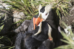 Two males Tufted puffins during the fight for a nesting Royalty Free Stock Image
