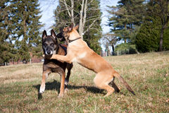 Two malinois in portrait. Two pretty Belgian shepherds playing in a field Royalty Free Stock Photography