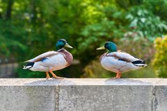 Two Mallard Drakes on a Wall. Tow male mallard ducks face one another whilst standing on the stone wall of a bridge Stock Image