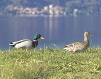Couple of mallard Duck Drake. Two mallard Duck Drake walking in a meadow Stock Image