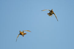 Two Mallard Duck Flying Directly at You. In a Clear Blue Sky Stock Images