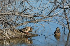 Mallard duck hens. Two mallard duck hens resting near island and hiding camouflaged under bare tree branches and earthen autumn and winter tones of brown soil Royalty Free Stock Photos