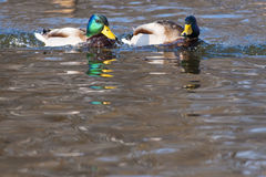 Two Mallard Duck Male on Water. Two Mallard Duck (Anas platyrhynchos) Male on Water Stock Images