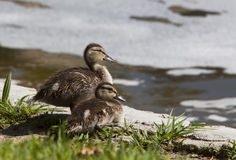Two Mallard Ducklings Royalty Free Stock Image