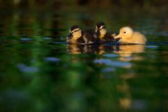 Two Mallard Ducklings with One Domestic Duckling On Water. This unusual photos shows the offspring of a hybrid domestic and wild mallard male duck paired with a royalty free stock photography
