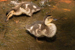 Two mallard ducklings searching for food. In shallow water Royalty Free Stock Photography