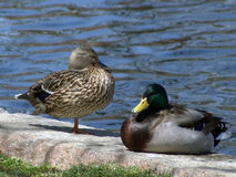 Free Two Mallard Ducks Stock Photo - 115300