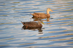 Two Mallard Ducks. On lake at sunset Royalty Free Stock Photography