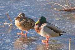 Two mallard ducks Anas platyrhynchos on their frozen pond. A mating pair of mallards Anas platyrhynchos just standing on the ice of their usual pond.  Jericho Stock Images