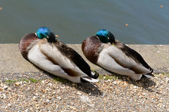 Two mallard ducks asleep Stock Images