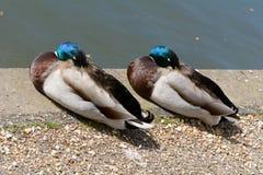 Two mallard ducks asleep. On riverbank Stock Images