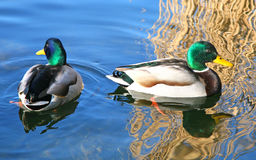 Two mallard ducks. On a blue lake with yellow reeds reflecting in the water Stock Photo