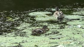 Two Mallard ducks feed on duckweed in a pond. Video Full HD stock video