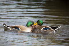Two mallard ducks fighting, unedited image. Stock Photos