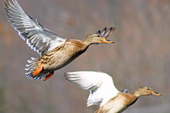 Two Mallard ducks fleeing from hunters Royalty Free Stock Photography