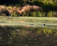 Ducks on a pond. Two mallard ducks floating and feeding on the open water of a small lake Stock Photo