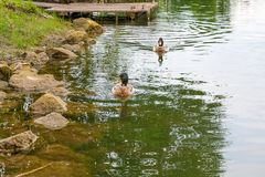 Two mallard ducks floating on a pond at summer time. Royalty Free Stock Images