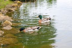 Two mallard ducks floating on a pond at summer time. Stock Images