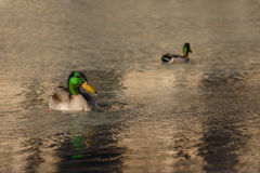 Two Mallard ducks floating in the water Stock Images