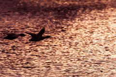 Two mallard ducks flying above lake at the sunset. Black ilhouettes of ducks Royalty Free Stock Images