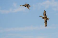 Two Mallard Ducks Flying in a Blue Sky. Two Mallard Ducks Flying in a Clear Blue Sky Stock Photos