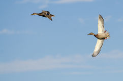 Two Mallard Ducks Flying in a Blue Sky Royalty Free Stock Photos