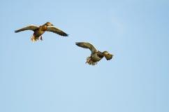 Two Mallard Ducks Flying in a Blue Sky. Two Mallard Ducks Flying in a Clear Blue Sky Stock Photography