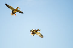 Two Mallard Ducks Flying in a Blue Sky. Two Mallard Ducks Flying in a Clear Blue Sky Royalty Free Stock Photography